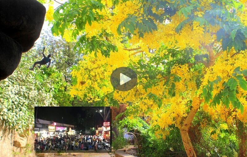 amaltas tree with adventure doing mountaineer in mount abu